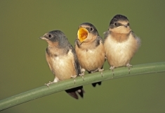 Barn Swallow fledglings on bullrush