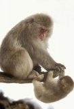 snow monkey mother and young playing