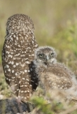 Burrowing owlet. Florida.