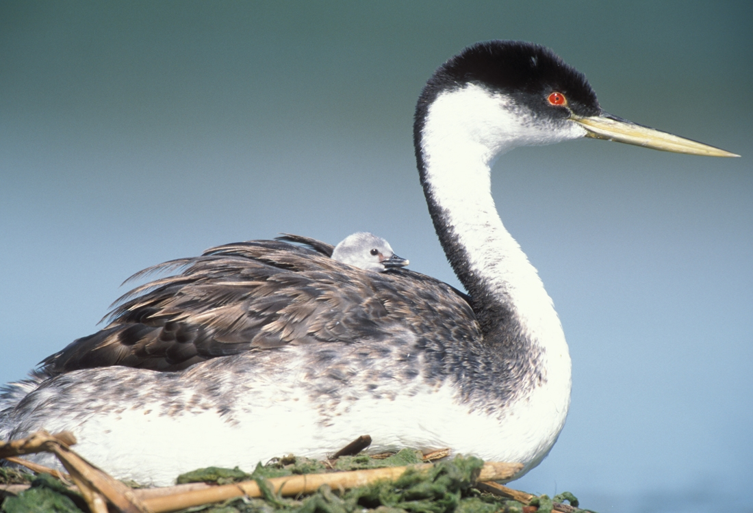 Western grebe with young on back. Lower Klamath, CA