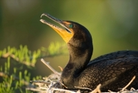 double-crested-cormorant-1123