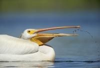 white-pelican-11713