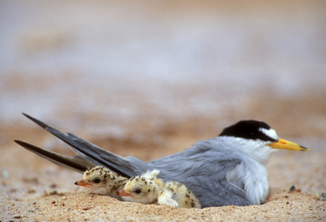 Least tern nesting with chicks