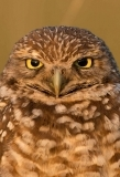 burrowing-owl-1-412
