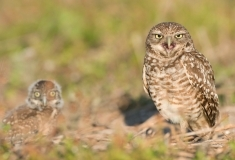 Burrowing owl and young. Florida.