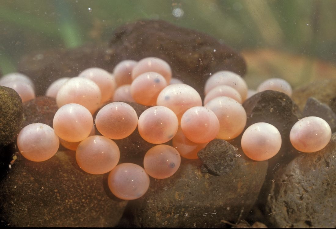 Chinook Salmon eggs in redd