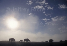 Bison at sunrise