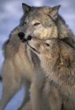 Wolf nuzzling, Montana.