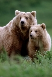 Grizzly bear with cub