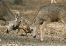 Black-tailed deer bucks in rut fighting