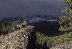 Cross fox on rock