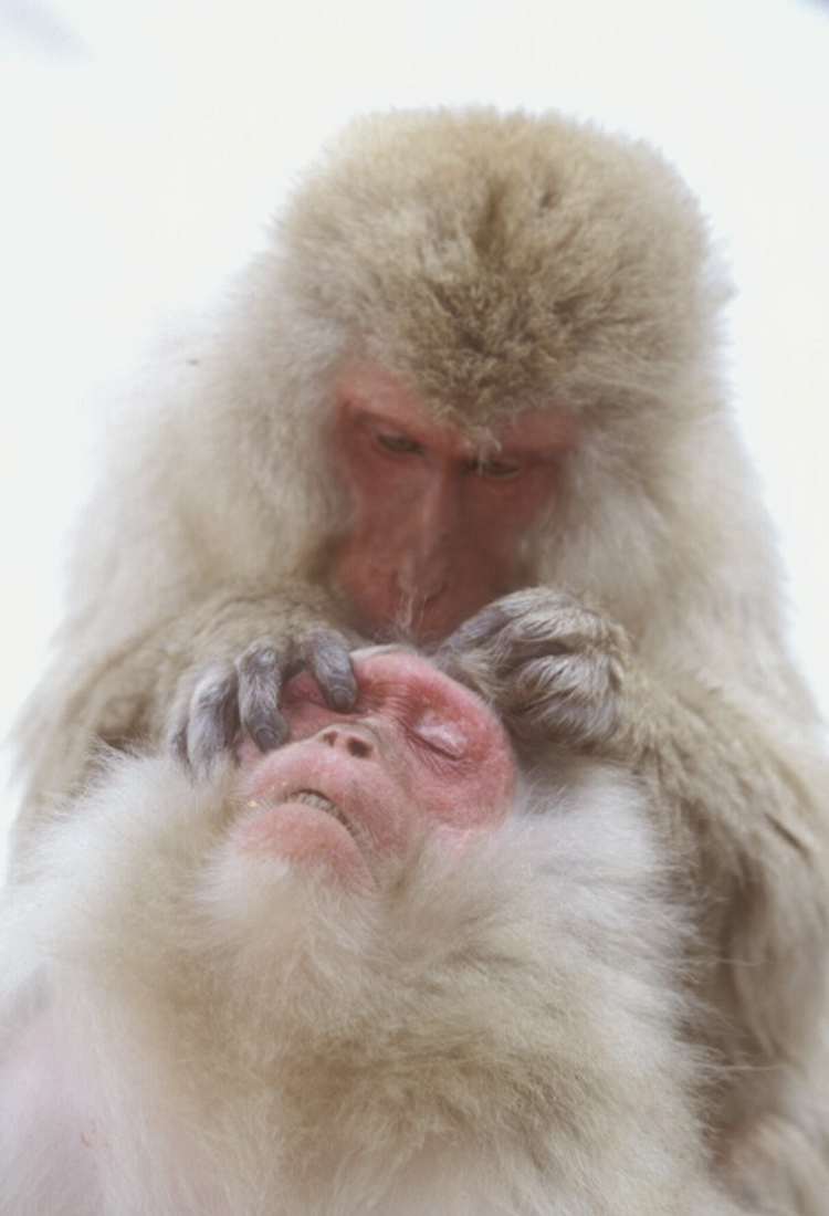 Snow monkey allopreening