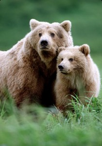 Grizzly Bear with young. McNeil River Sanctuary, AK. Great bear photo, cute bear