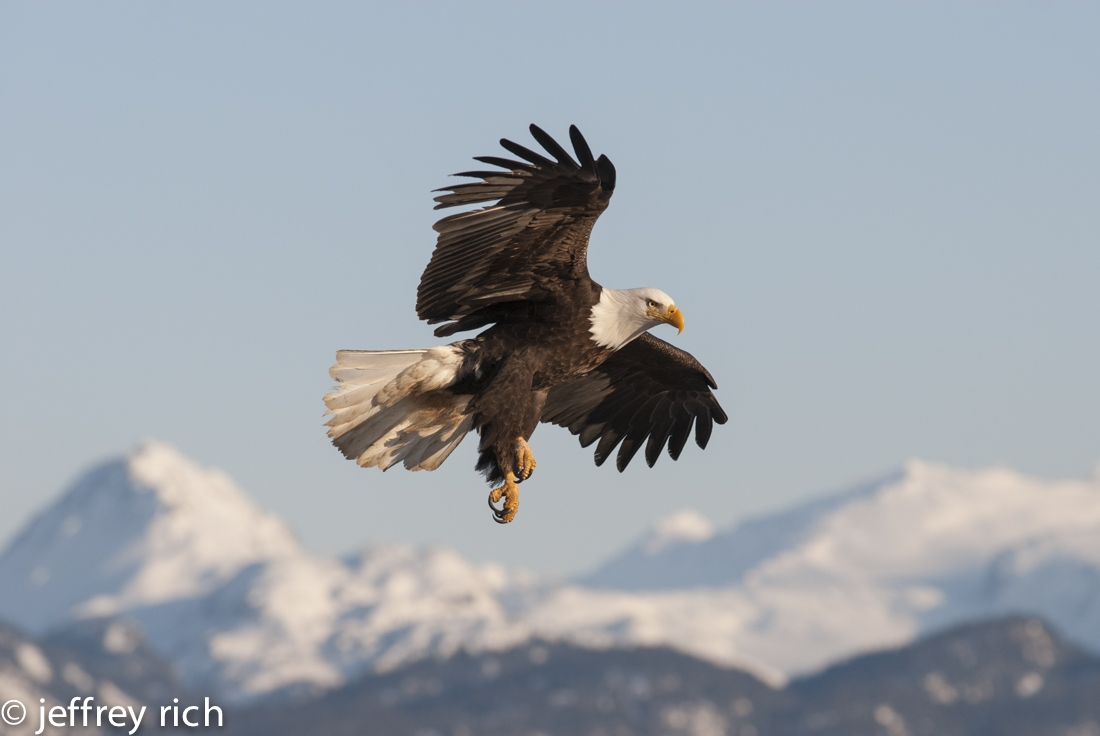 Bald Eagle flying over snowy mountains. Homer, AK.