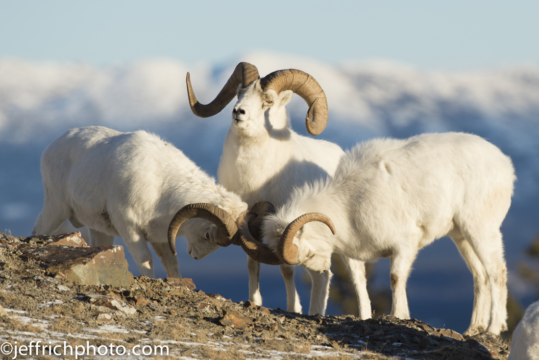 Dall sheep in Yukon, Canada