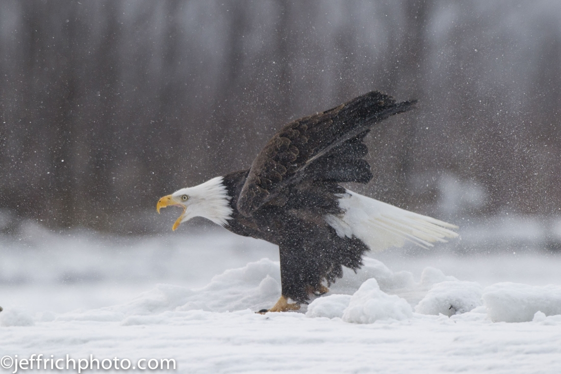 Bald Eagle aggressive in the snow. Haines, AK