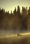 Common loon swimming at sunrise misty
