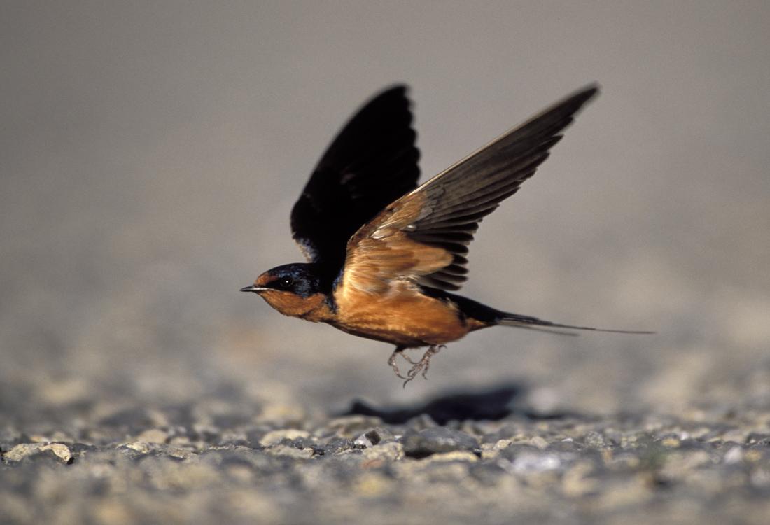 Barn Swallow taking flight