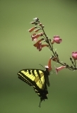 Swallowtail butterfly on red flower