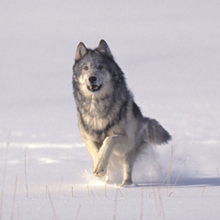 Wolf running towards you