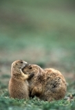 Prairie dog nuzzling pup and mother. Oklahoma.