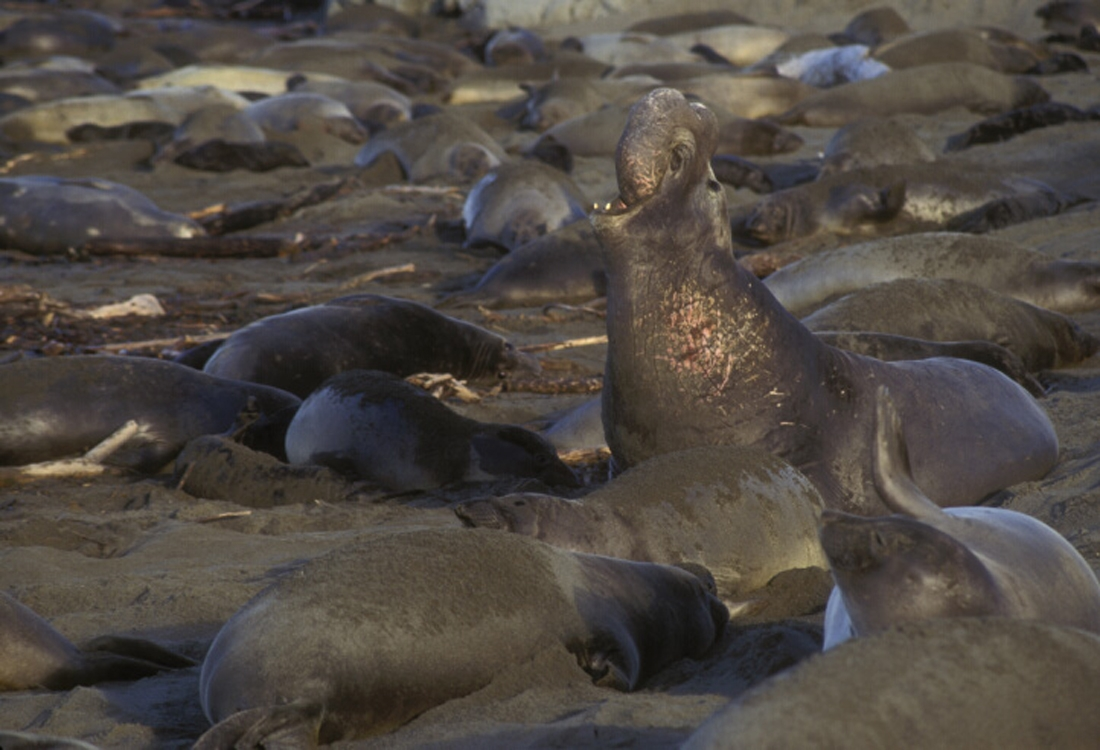northern-elephant-seal-male-surrounded-by-females