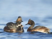 baby, cute, baby bird, grebe, eared grebe, great grebe photo.